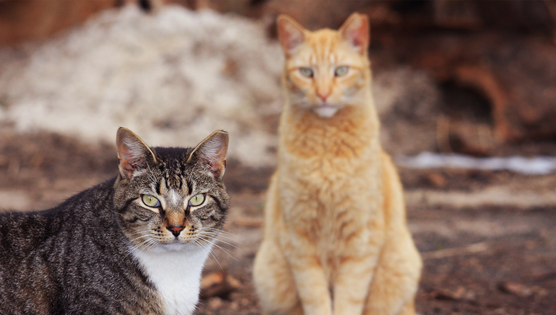 outdoor cats with tipped ears