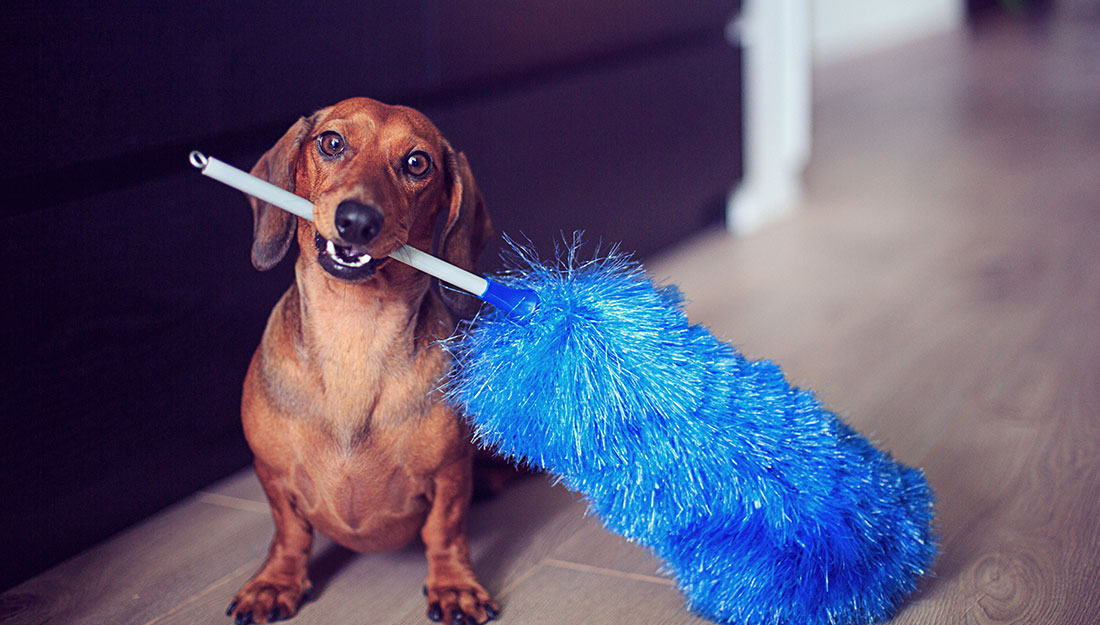dog with household duster