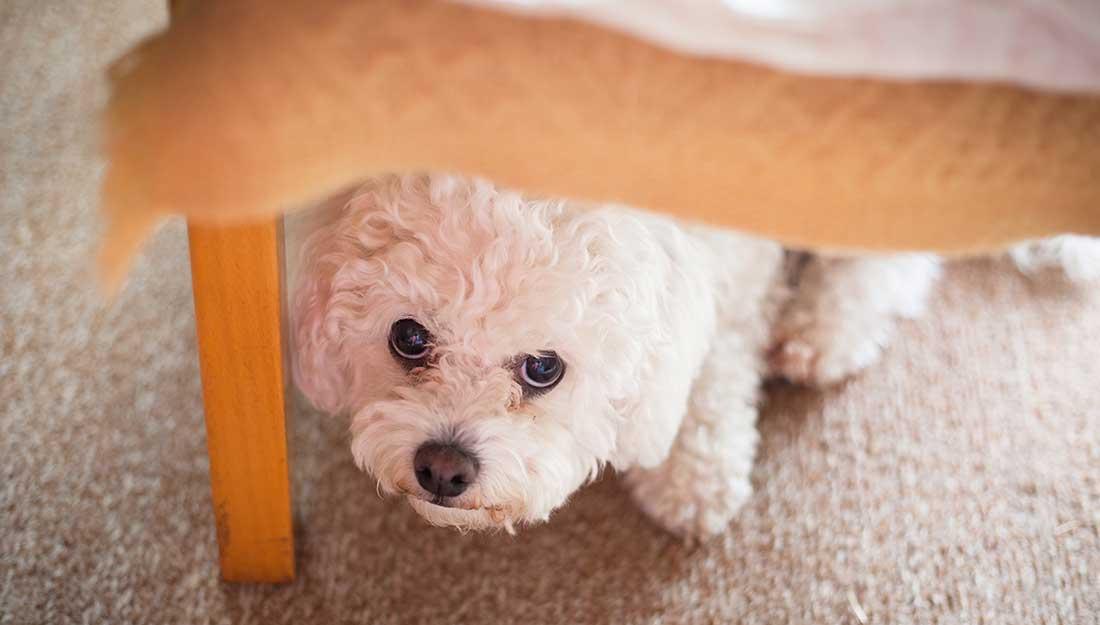 dog hiding under chair