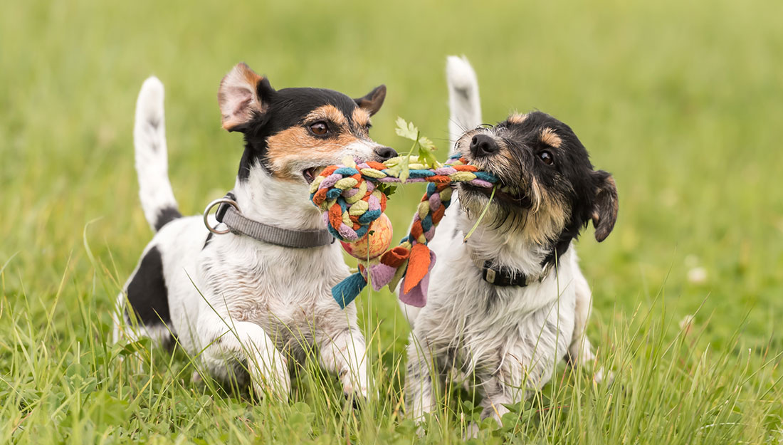 dogs playing together at the park