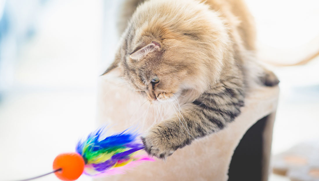 exercising a cat with a toy