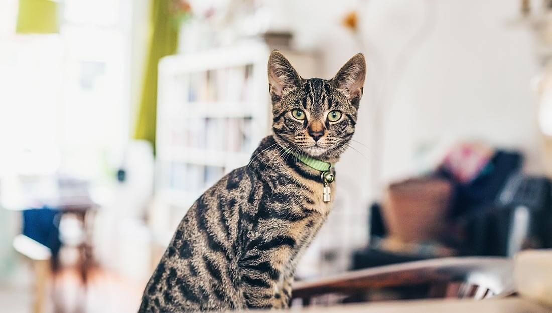 Cat at home wearing collar and tag