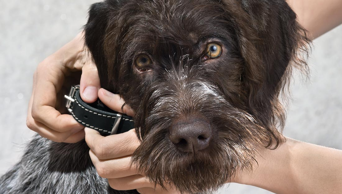Putting collar on a dog to keep it safe