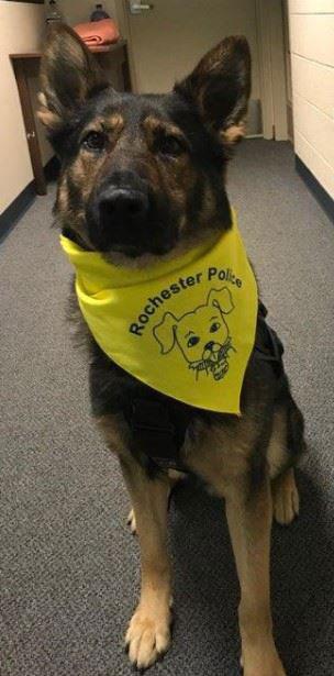 Dog wearing Rochester Police bandana