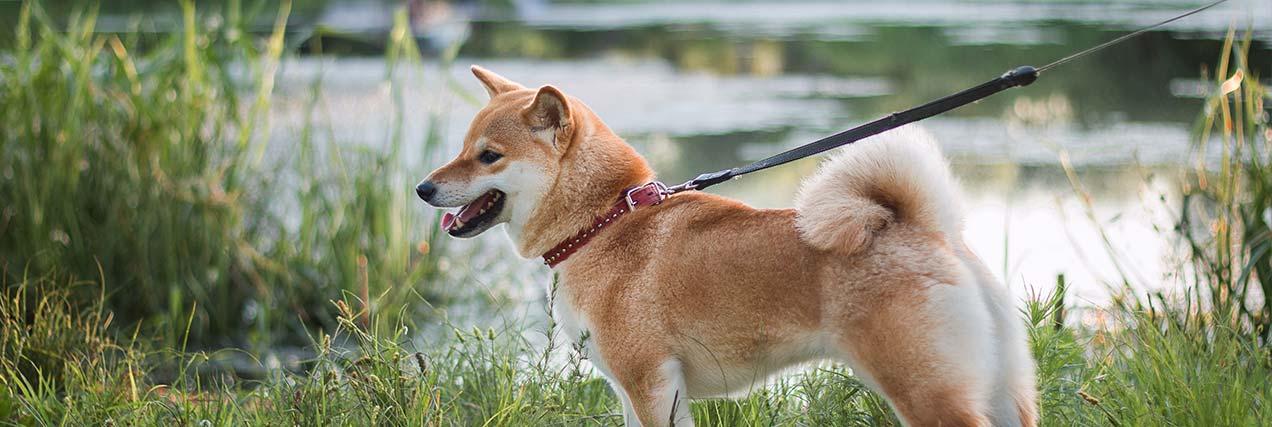 happy dog on a walk on a leash