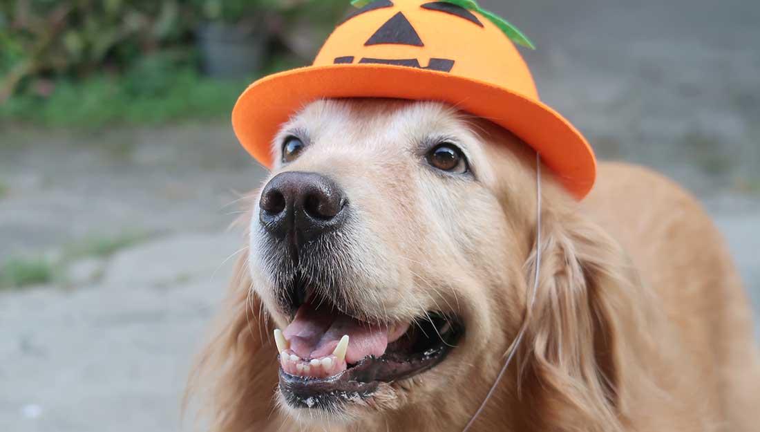Dog in pumpkin hat