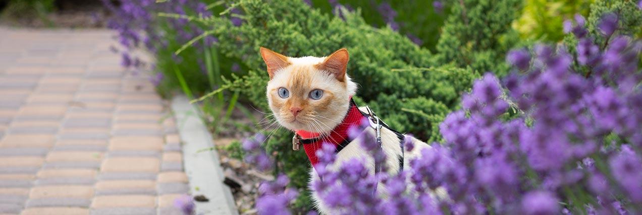 cat walking outside on leash